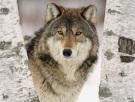Wolf-Slavic-Totem