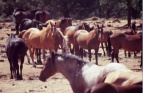 herd-of-horses
